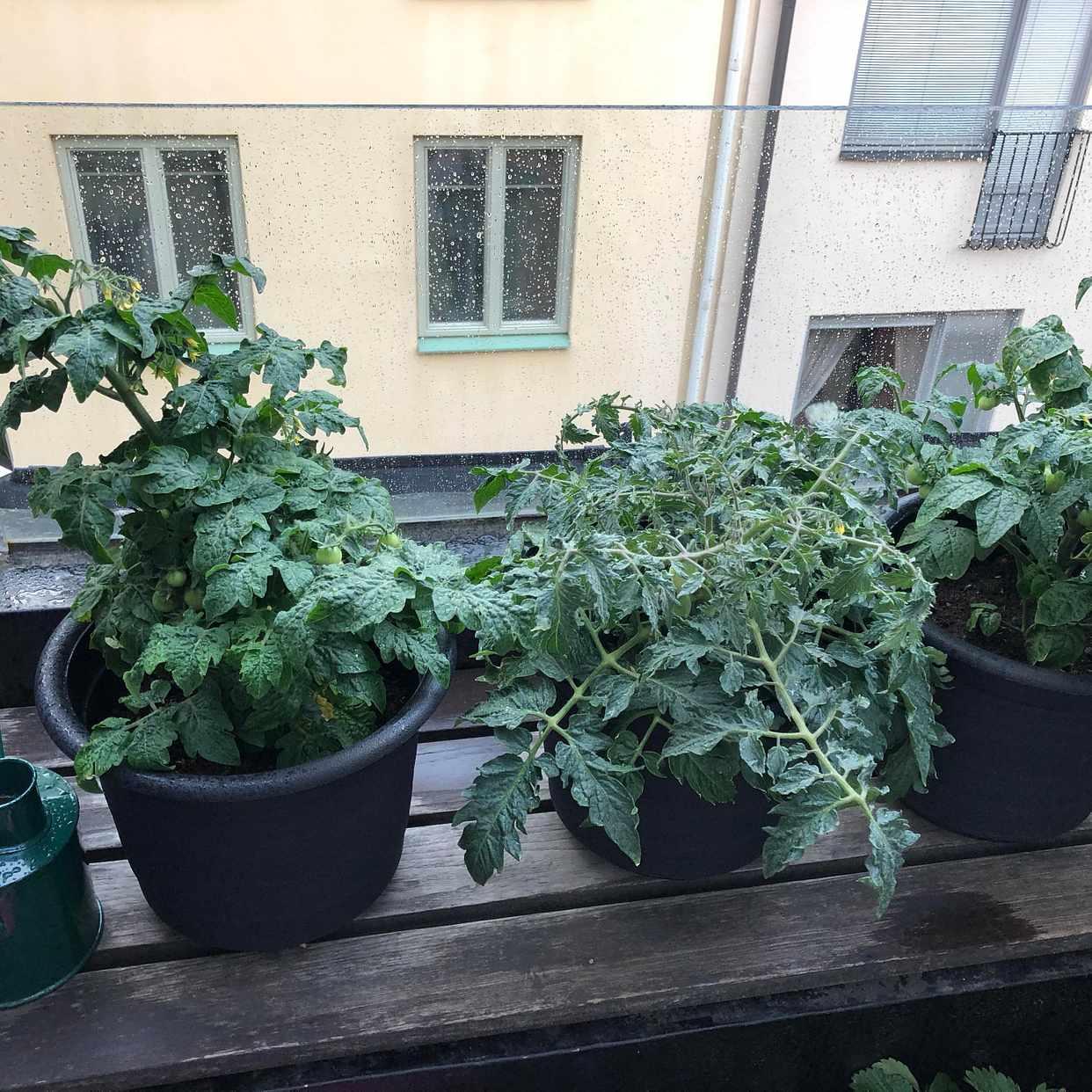 image of 3 tomato plants and a bag -