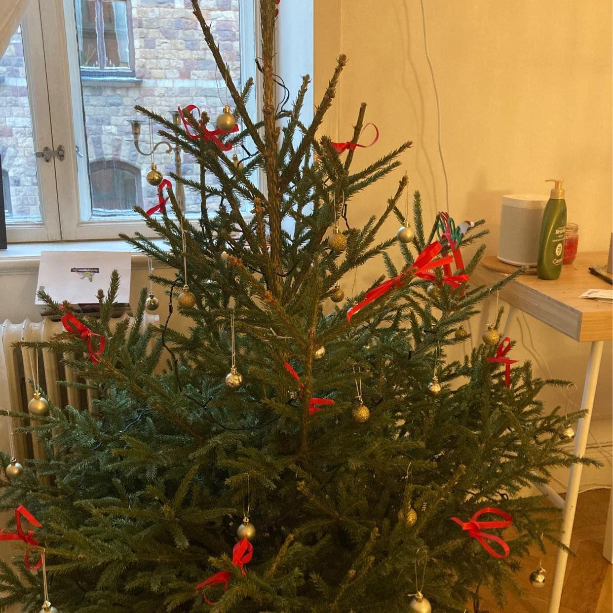 image of Old Christmas tree - Stockholm