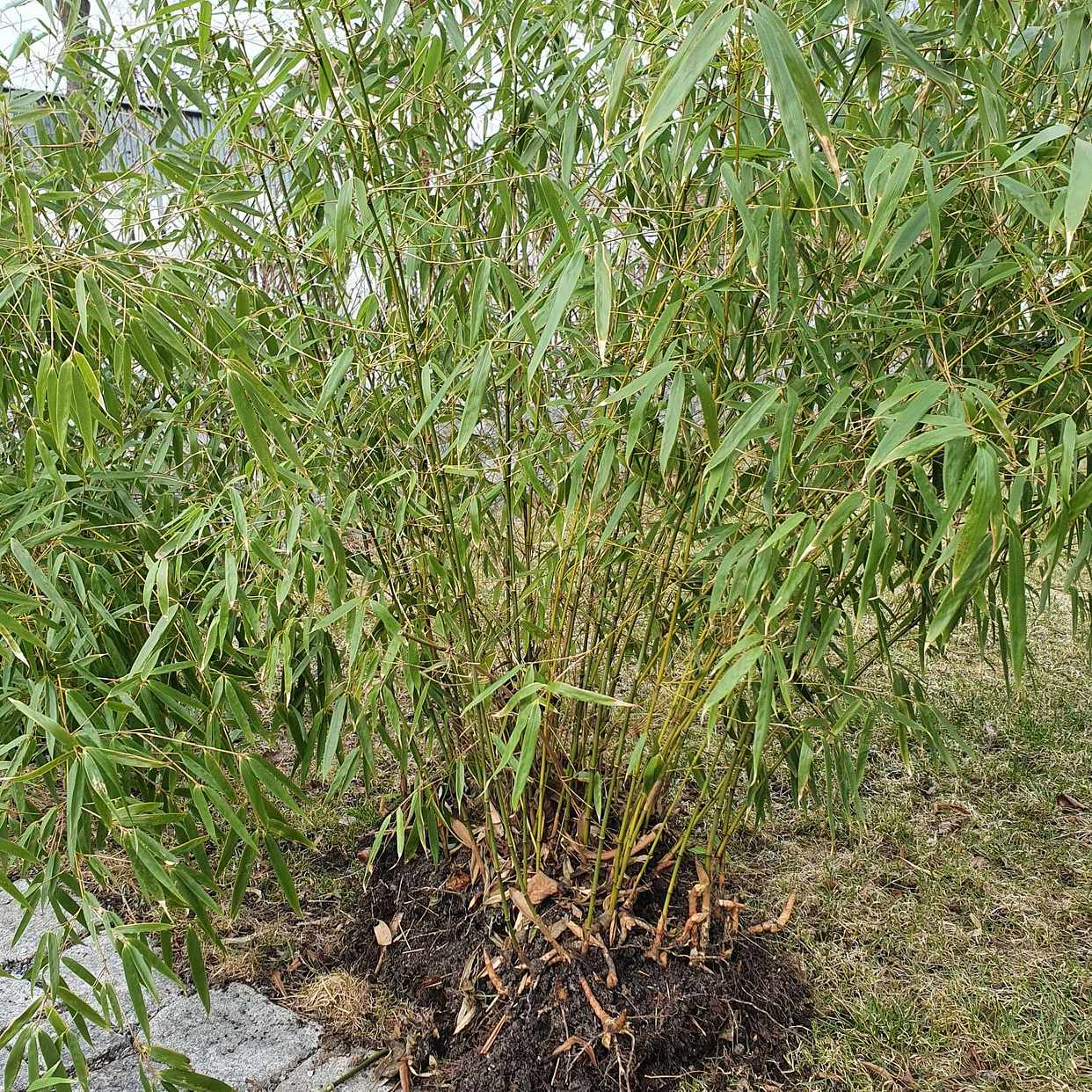 image of Tre stora plantor bambu - Enskede